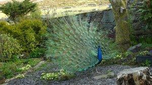 peacockblog